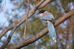 Azure-winged Magpie   Aziatische Blauwe Ekster