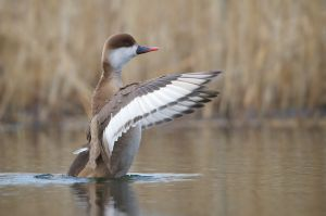 Red-crested Pochard | Krooneend