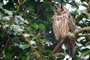 Long-eared Owl   Ransuil