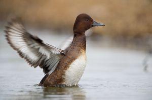 Ferruginous Duck fem.   Witoogeend