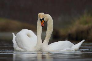 Mute Swan   Knobbelzwaan