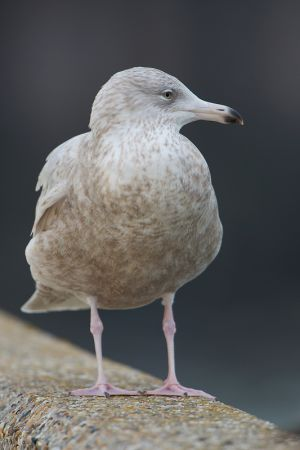 Glaucous Gull   Grote Burgemeester