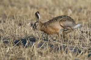 Hare | Haas