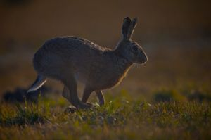 Brown Hare | Haas