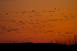 Common Crane | Kraanvogel