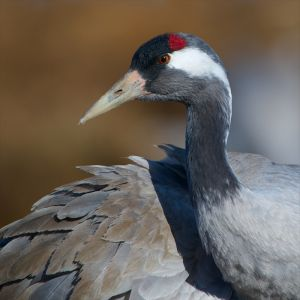 Common Crane | Kraanvogel