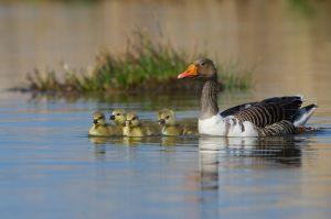 Greylag Goose | Grauwe Gans