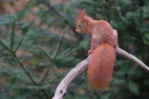 Red Squirrel | Eekhoorn