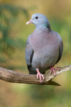Stock Dove | Holenduif
