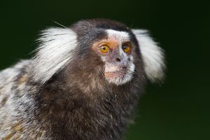 White-tufted-eared Marmoset