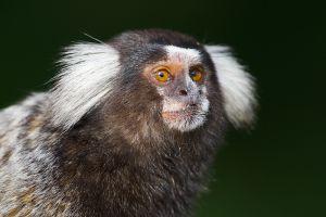 White-tufted-eared Marmoset