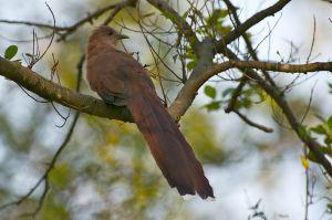 Squirrel Cuckoo