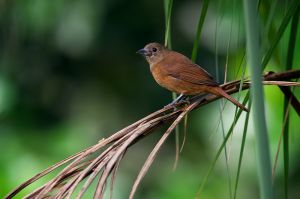 Ruby-crowned Tanager - female