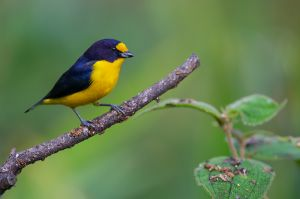 Violaceous Euphonia -male