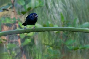 Ruby-crowned Tanager - male