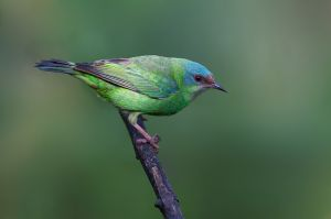 Blue Dacnis - female