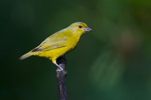 Violaceous Euphonia -female