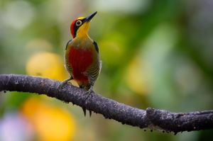 Yellow-fronted Woodpecker - male