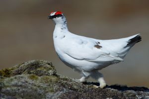 Rock Ptarmigan | Alpensneeuwhoen