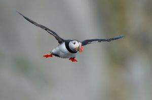 Atlantic Puffin | Papegaaiduiker