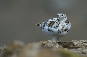 Rock Ptarmigan - female