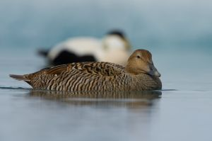 Common Eider - female