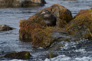 Harlequin Duck- female