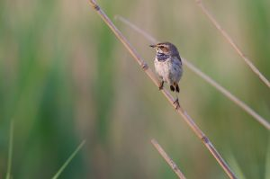 Bluethroat fem.  | Blauwborst