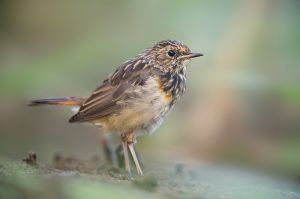 Bluethroat juv. | Blauwborst