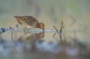 Common Snipe | Watersnip