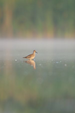 Common Redshank juv. | Tureluur