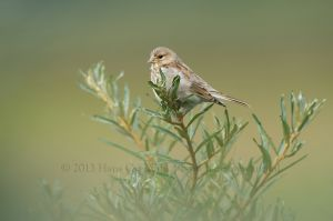 Common Linnet juv. | Kneu