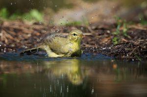 Willow Warbler   Fitis