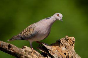 European Turtle Dove   Zomertortel