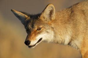 Coyote