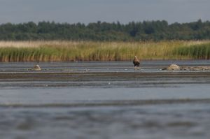 White-teailed See-eagle (Estonia)