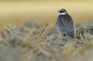 Red-footed Falcon juv. | Roodpootvalk