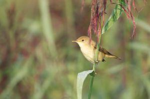 Eurasian Reed Warbler | Kleine Karekiet
