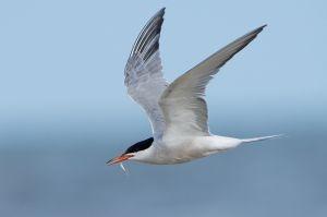 Common Tern | Visdief