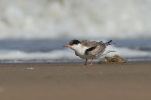 Common Tern juv. | Visdief