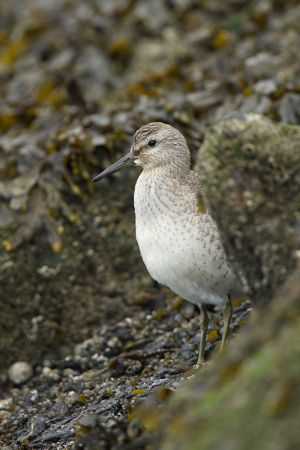 Red Knot juv. | Kanoet