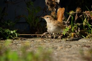 Rufous-tailed Scrub Robin | Rosse Waaierstaart