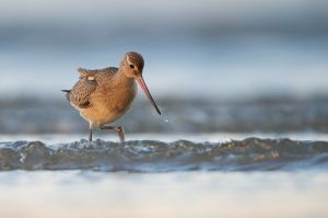 Bar-tailed Godwit | Rosse Grutto