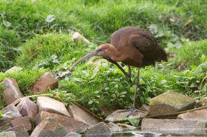 Glossy Ibis | Zwarte Ibis