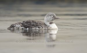 Red-throated Loon | Roodkeelduiker