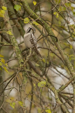 Northern Hawk-Owl | Sperweruil