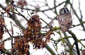 Northern Hawk-owl | Sperweruil