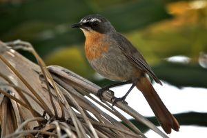 Cape Robin Chat