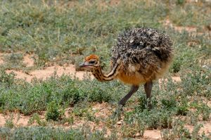 Ostrich juv.