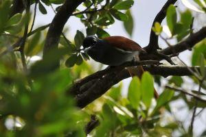 Paradise Flycatcher female
